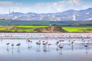 Larnaca Salt Lake - Flamingo